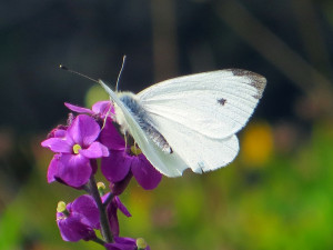 Cabbage white butterfly could be key to better solar technology