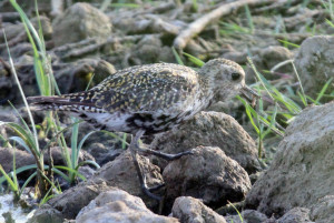 Golden plover under threat from climate change